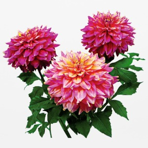 Pink Dahlias Kidds Climax Other - Mouse pad Horizontal