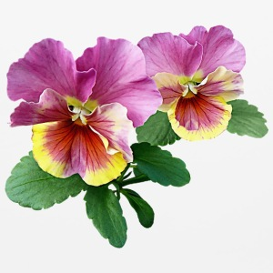 Pale Magenta and Yellow Pansies Other - Mouse pad Horizontal