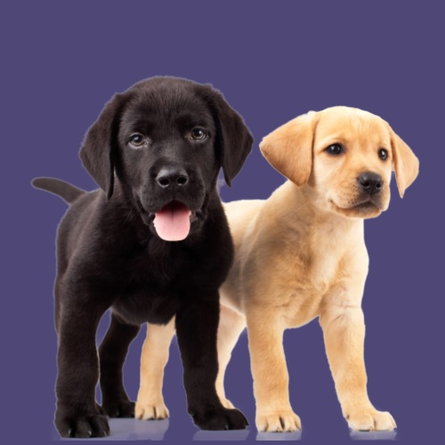 Black and White Lab Puppies