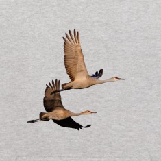 Cranes, Sandhill, Couple in Flight