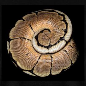 Design ~ Ball Python Spiral