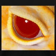 Design ~ Raptor Eye