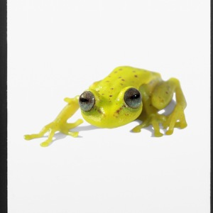 Frog, amphibian - iPhone 6/6s Rubber Case