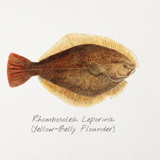 Yellow belly flounder