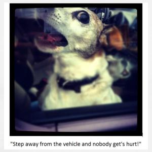 Chihuahua getting aggressive in car window - Men's Premium T-Shirt