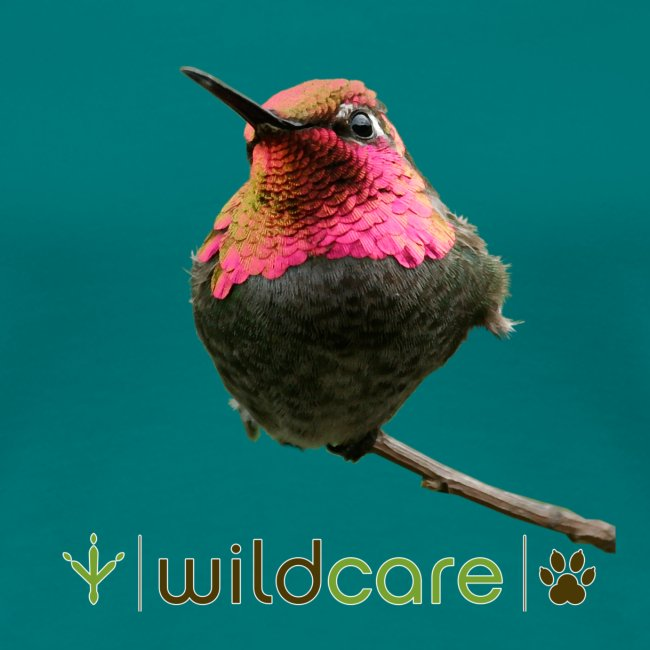 Hummingbird patient at WildCare