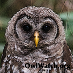 Boo - Owlwatch 2014 Owlet