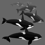 Orca Whale Killer Whales