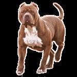 Pit bull brown 2