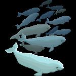 Beluga Whales Art