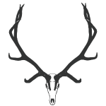 Bull elk skull European