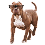 pitbull glasses 1