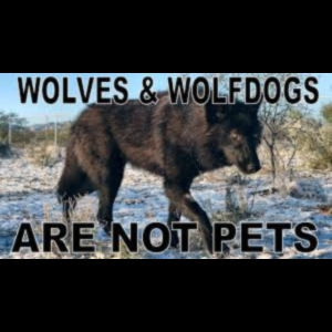 wolves and wolfdogs are not pets
