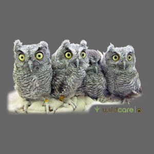 Five Western Screech Owls at WildCare