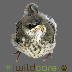 Songbird in Care at WildCare