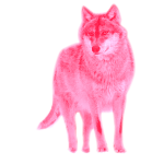 wolf canis lupus wild animal  pink