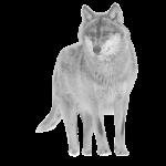 wolf canis lupus wild animal