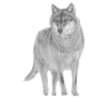 wolf pack canis lupus wild animal