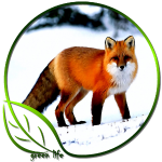 Green Life Arctic Fox