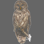 Barred Owl 8630_for_blacK