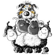 Australian Shepherd and sheep - Dog