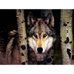 Wolf in the Timber