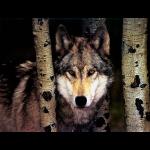 jlmwolf011024x768