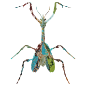 INSECT : MANTIS