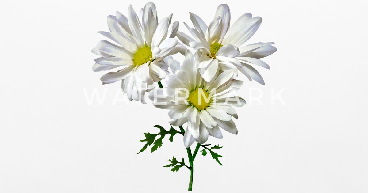 three white daisies by susansavad spreadshirt