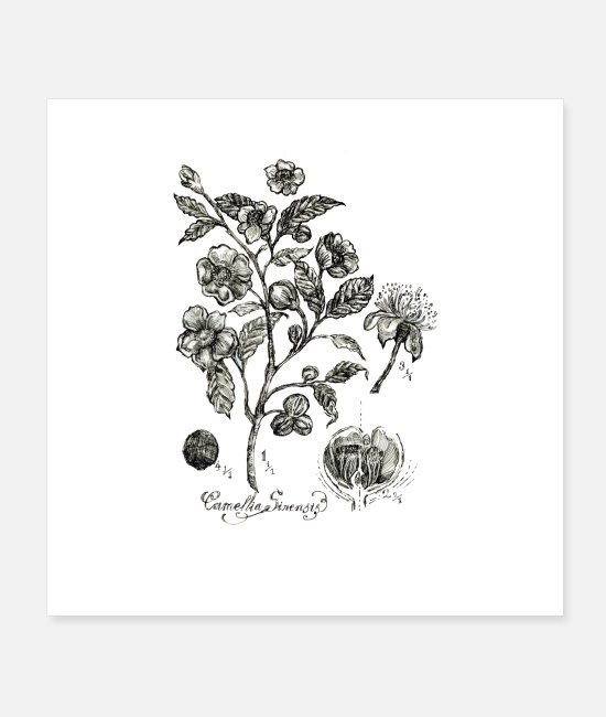 Nature Posters - Tea Plant botanical illustration - Posters white