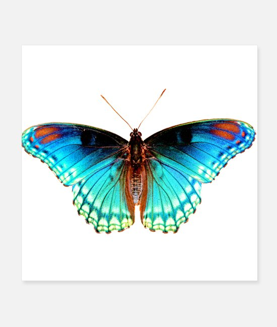 Moth Posters - pretty butterfly photo blue and green insect - Posters white