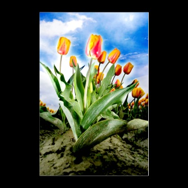 Skagit Valley tulips are in full bloom - Poster 24x36