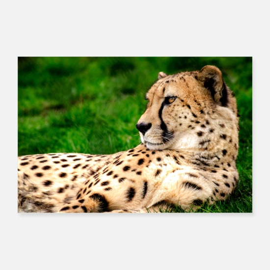 Animal Posters - Cheetah Portrait - Posters white