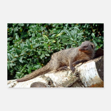 Fur Mongooses is a complete recording on a birch tree - Poster 36x24