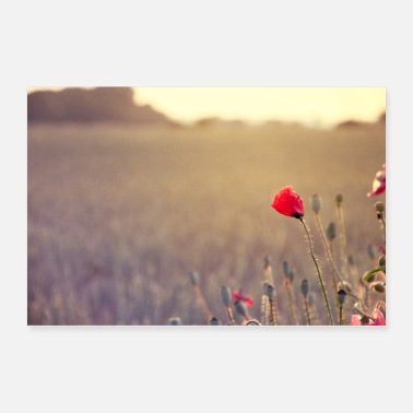 red poppy on the edge of the field in the evening - Poster