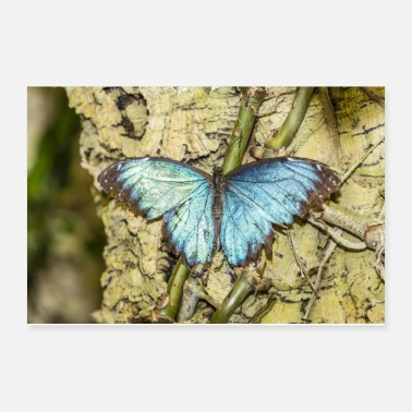Blue shining buttefly - Poster