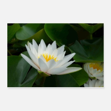 Asia White water lily - Poster