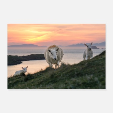Meadow Sheep and two lambs at Scotland coast with sunset - Poster