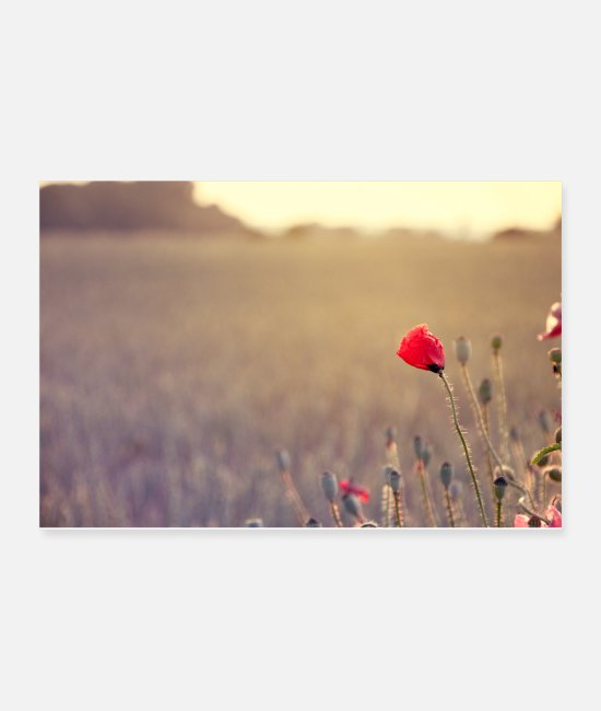 Red Posters - red poppy on the edge of the field in the evening - Posters white