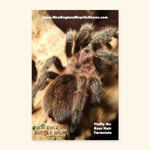 Fluffy the Rose Haired Tarantula - Poster 8x12