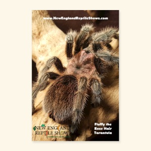 Fluffy the Rose Haired Tarantula - Poster 24x36