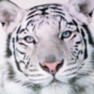TigerRose